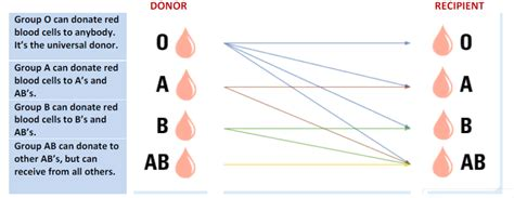 Blood Types And Transfusions Worksheet by A Lifesaving Opportunity X3