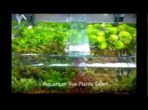 Plants That Don T Need Water aquarium natural live plants sale in chennai aquarium