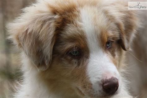 australian shepherd puppies tennessee my future child i want one australian shepherd puppy for