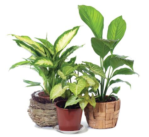 inside plants matelic image indoor house plants pictures