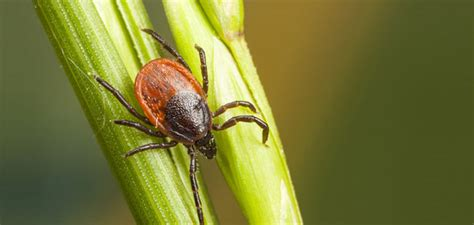 ticks in my backyard tick control for your yard collaborative natural health