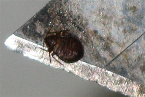 where can bed bugs live can bed bugs live in the cold 28 images what kills bed