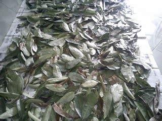 Daun Retsleting Gigi Kwalitas A Coklat manfaat daun sirsak dan cara mengolahnya manfaat daun