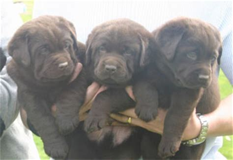 how much are lab puppies lab puppy weight exercise and other issues