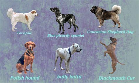 rare dog breeds puppies rare dog breeds by windhaven kennel on deviantart