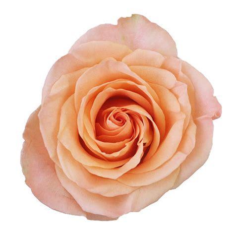 Attractive Peach Rose ? WeNeedFun