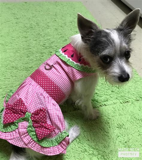 is watermelon bad for dogs watermelon harness dress by doggie design with same day shipping baxterboo