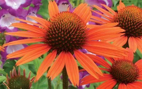 Fall Gardening Zone - buy dixie blaze orange echinacea coneflower 1 gallon pot echinacea coneflowers
