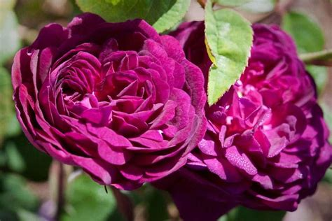 the rose rhs rose of the year at rhs hton court palace flower show rhs gardening