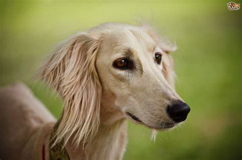 www dogs saluki hereditary health and average longevity pets4homes