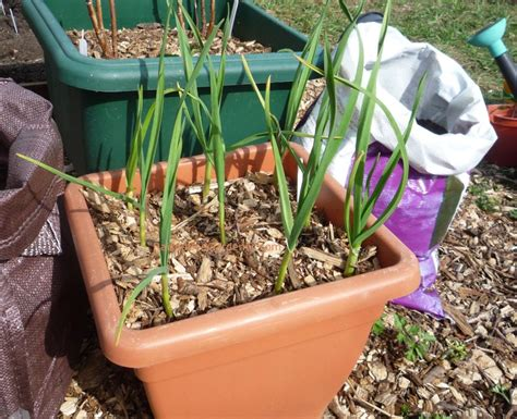 garlic container garden growing garlic in raised beds and containers