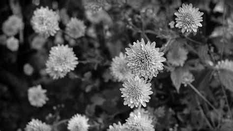 wallpaper black n white black n white flowers desktop background wallpaper free