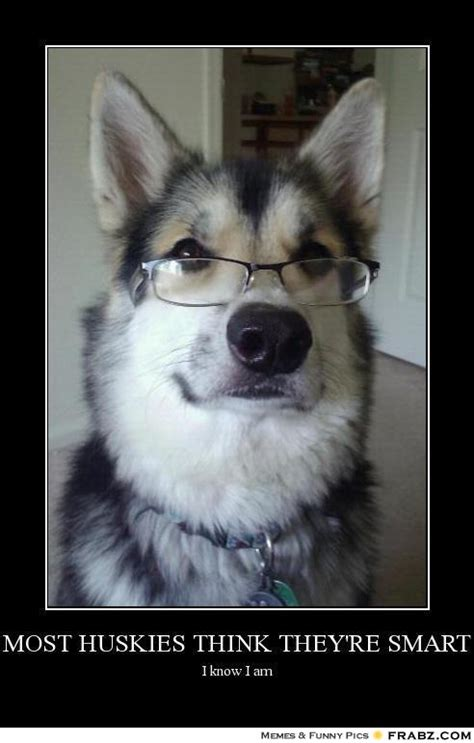 Husky Meme - most huskies think they re smart the intelligent dog