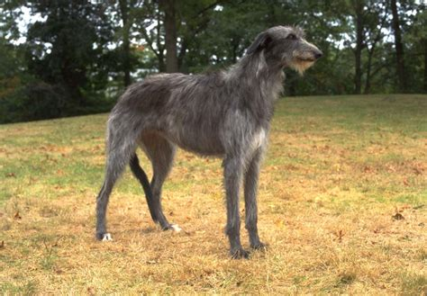scottish deerhound puppies scottish deerhound puppies for sale akc puppyfinder