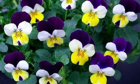 fiori febbraio piante e fiori di febbraio livingcorriere
