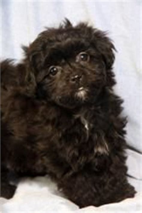 havanese puppies in missouri 14 best images about havanese pics on dogs poodles and abyssinian cat