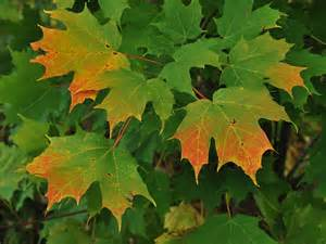leaf colors why fall leaves change color jbyrd nurseries llc