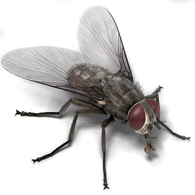 house fly maya house fly