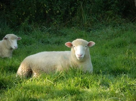 black sheep tries humorous stories to ease s growing pains books best 25 dorset sheep ideas on what do sheep