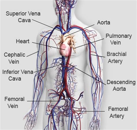 diagram of the circulatory system the circulatory system of mammals free zimsec revision