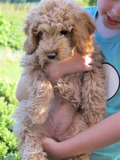 labradoodles puppies for sale perth ella labradoodle puppies for sale tora labradoodles