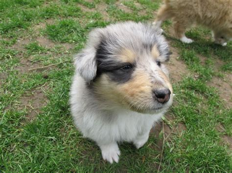 blue merle collie puppies for sale blue merle collie puppy for sale alderley edge cheshire pets4homes