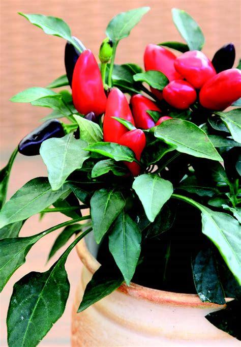 peperoncino in vaso coltivare il peperoncino in vaso di ital agro