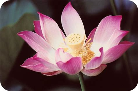 what is a lotus flower 17 best ideas about lotus flower meanings on
