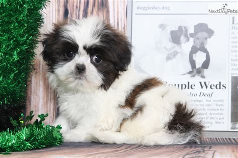 shih tzu puppies for sale in rock arkansas shih tzu puppies shih tzu grooming chance shih tzu puppy for sale near baltimore maryland