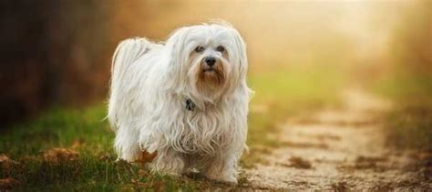 do havanese bark 9 best small breeds for small living spaces nonuple