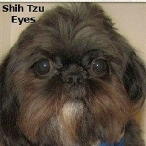 shih tzu eye cleaning grooming the shih tzu an overview