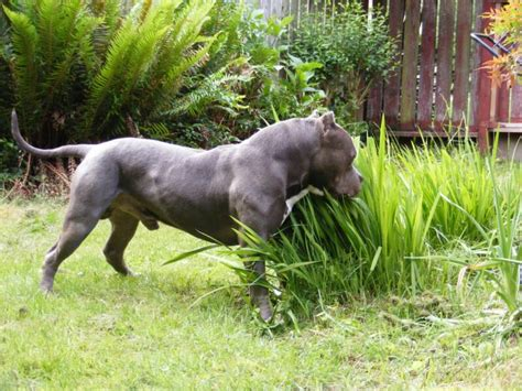 world pit pitbull in the world pictures breeds picture