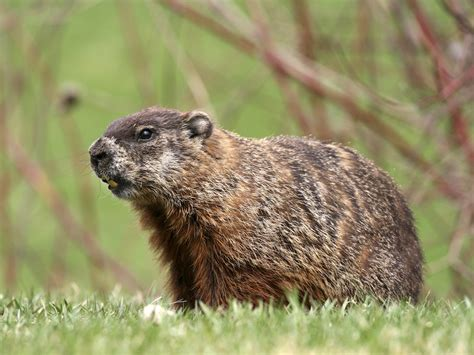 how to get rid of a groundhog in my backyard how to get rid of groundhogs woodchucks facts info
