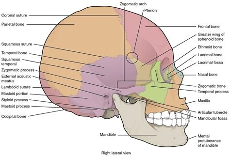 diagram of anatomy skull anatomy diagram human anatomy diagram