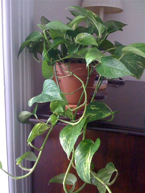 easy to take care of indoor plants 17 best images about easy to care for indoor plants on