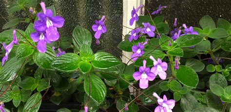 Where To Put Plants In House daily flower candy streptocarpus saxorum the frustrated
