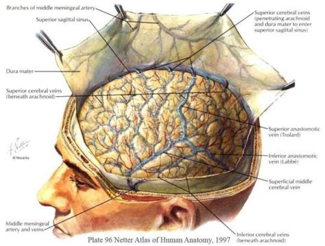 bu bourgery atlas of human 3836534495 reflection of the dura mater from netter atlas of human science posts dura
