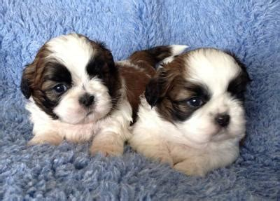 shih tzu puppies for sale perth australia ads for pets animals gt dogs puppies 79 free classifieds muamat