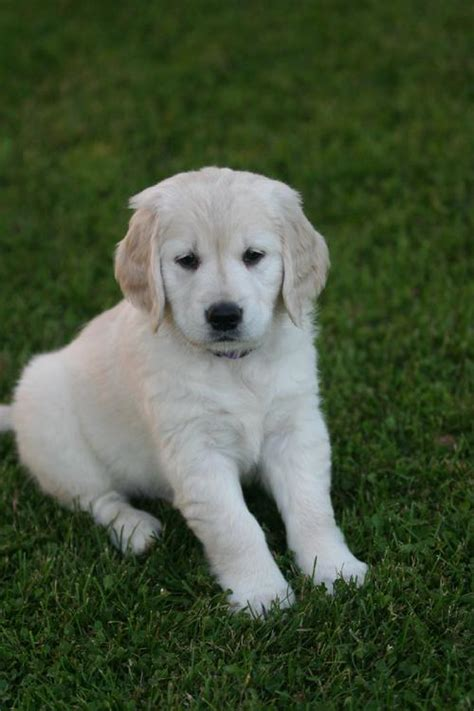 wisconsin golden retriever breeders golden retriever puppies in wisconsin