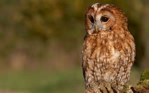 tawny owl the life of animals