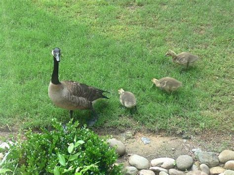Backyard Geese by Backyard Nature Geese