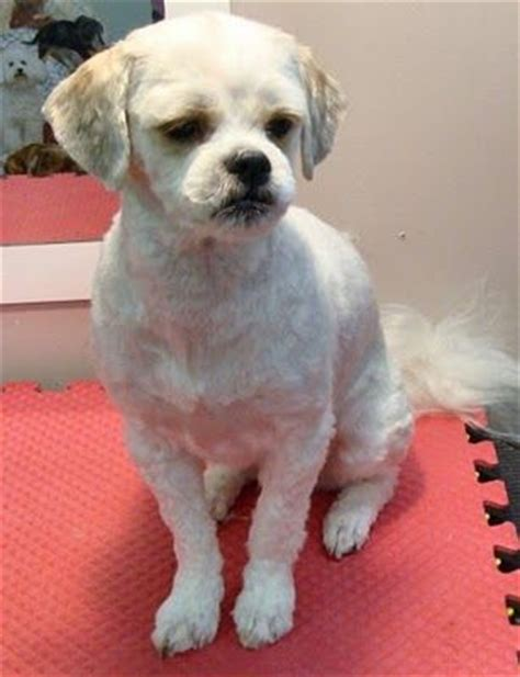 at what age does a shih tzu stop growing 16 best shih tzu hair cuts images on