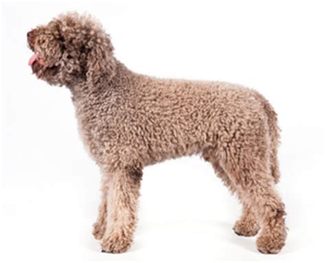 breed no shedding protective breeds picture