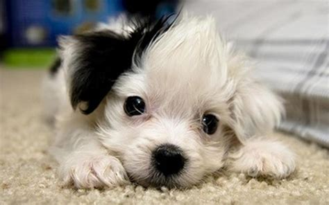 Cute puppies puppies wallpaper 22040895 fanpop