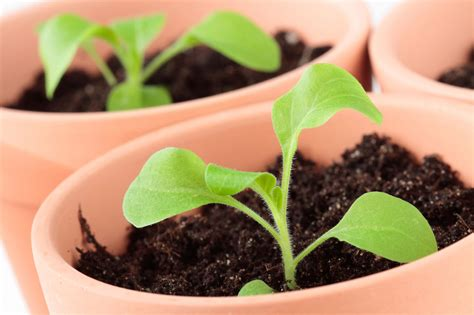 starting petunia seed plants tips for growing petunias from seed
