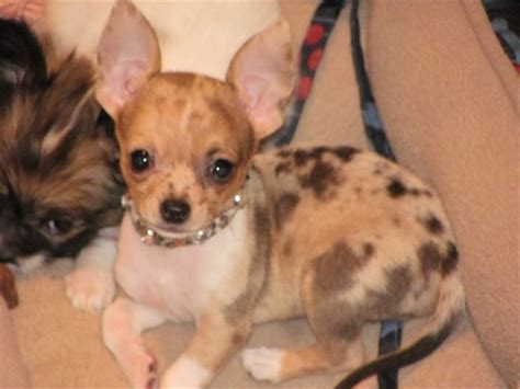 blue merle chihuahua puppies best 25 merle chihuahua ideas on
