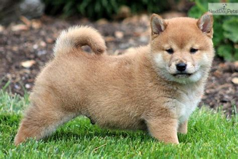 where to buy a shiba inu puppy shiba inu puppy for sale near lancaster pennsylvania 285792c0 22c1
