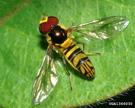 garden flies pest the beneficial hover fly how to use hover flies in gardens
