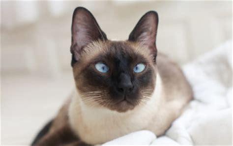 gatto siamese alimentazione gatto siamese carattere educazione e aspetto