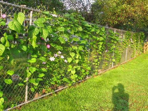 growing clematis and morning glories on chain link fence